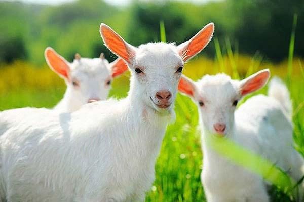 mozhno-li-davat-koze-moloko-novorozhdennomu-2